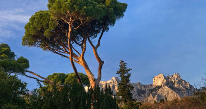 Pinho italiano no parque de Alupka, com o Monte Ai-Petri ao fundo, Crimeia