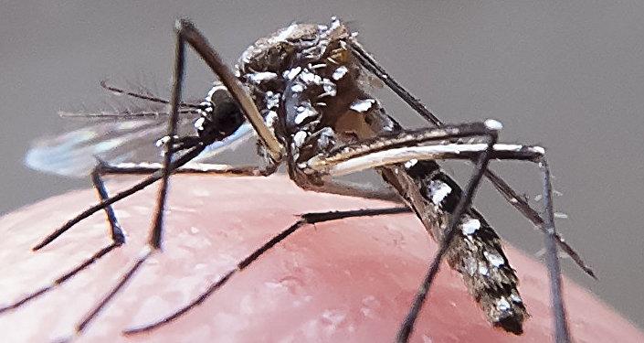 Mosquito aedes-aegypti