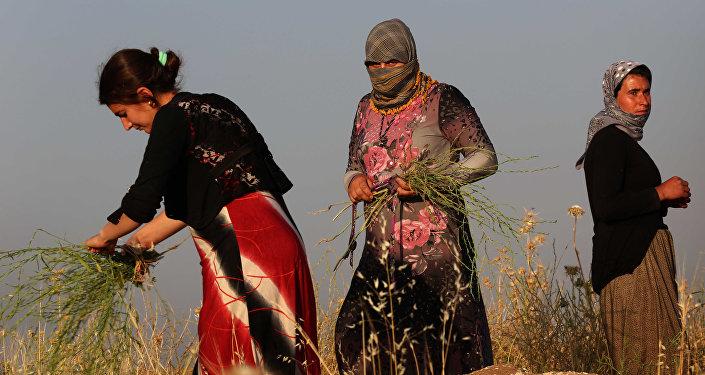 Mulheres da comunidade dos yazidis, que fugiram da violência do Daesh, fazem a colheita de plantas no norte do Iraque, Sinjar, 20 de maio de 2015
