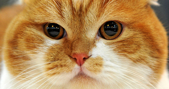 Gato de raça Scottish Fold
