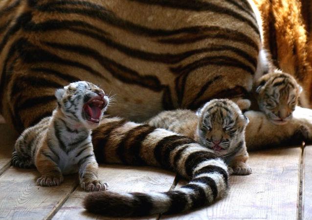 Tigre-siberiano com filhotes