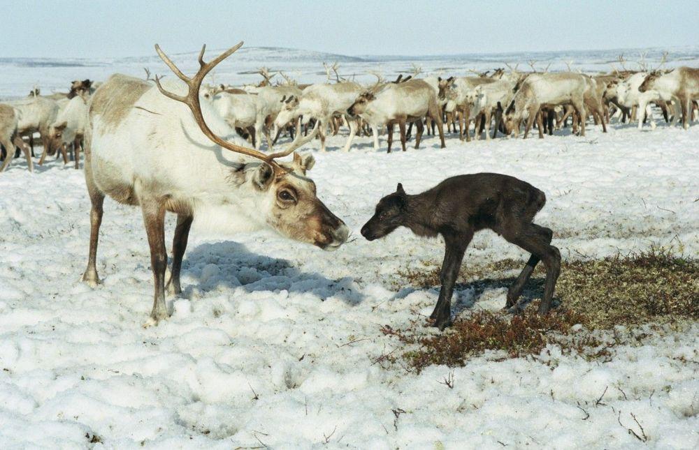 Rena com o seu filhote na península de Kola (Rússia)