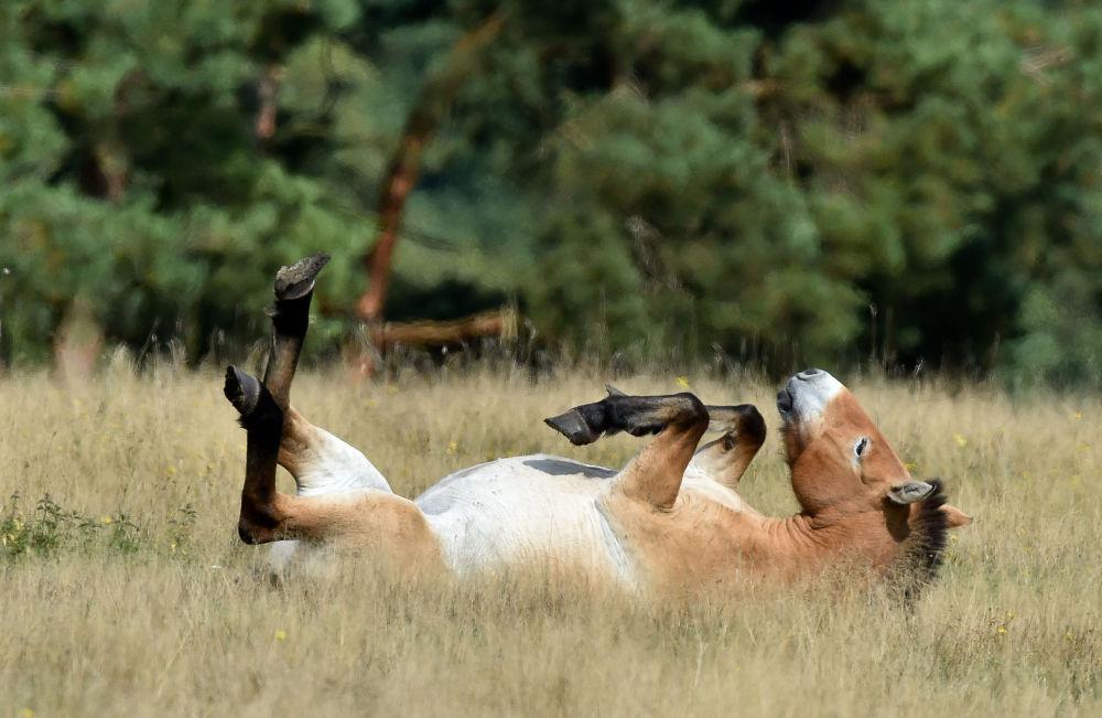 Cavalo de Przewalski