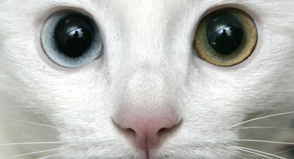 Um gato de raça turkish van (Foto de arquivo)