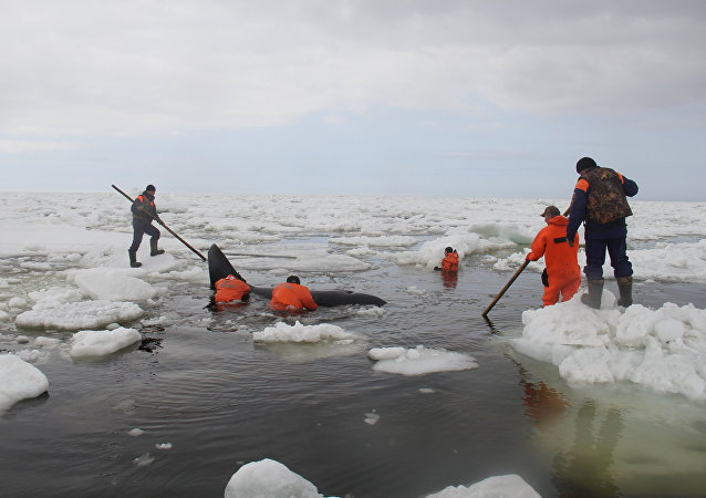 Salvamento de orcas no Mar do Okhotsk