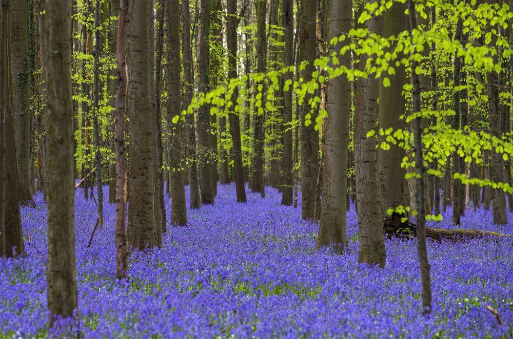 Campainhas silvestres, na floresta perto da cidade de Halle, Bélgica