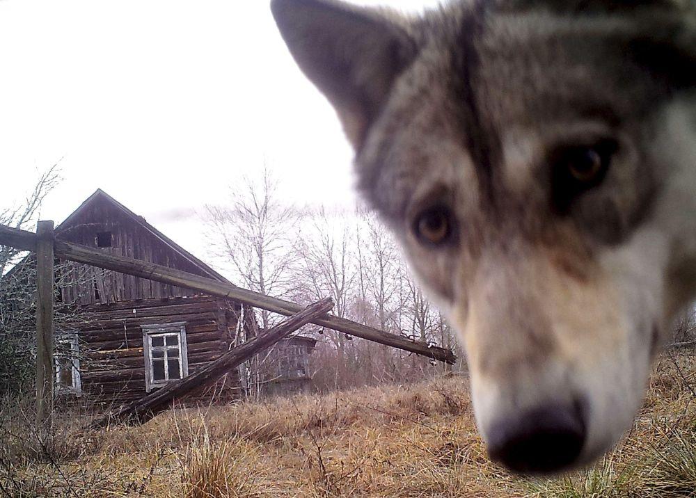 Lobo aproxima-se de casa abandonada na aldeia-fantasma de Orevichi