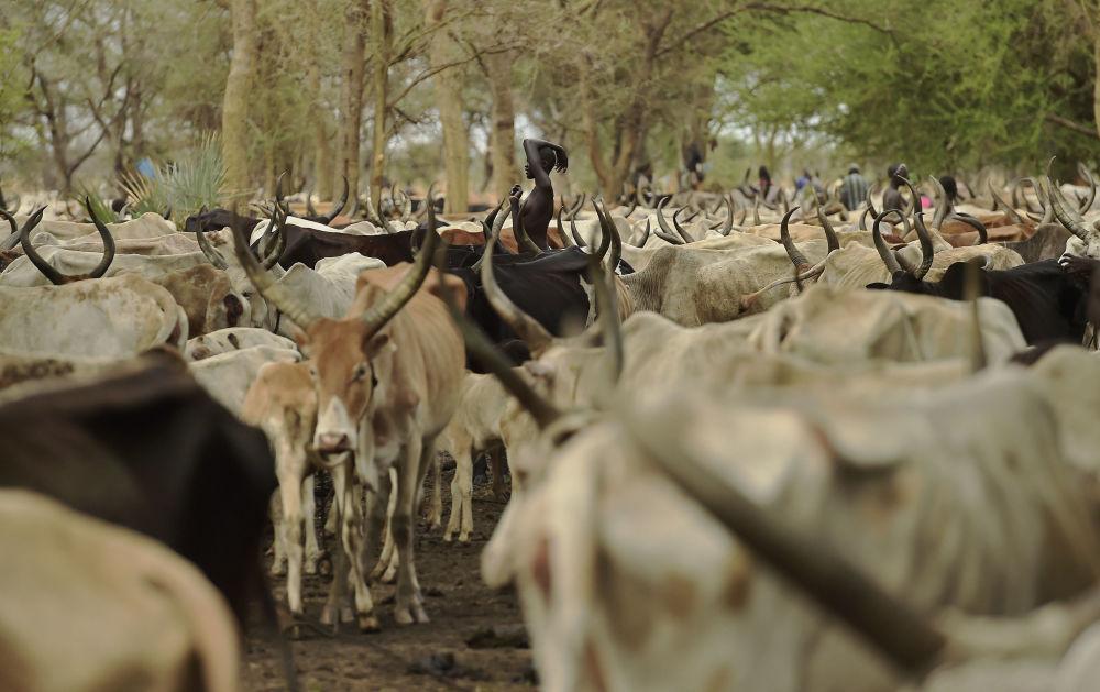Uma mulher está no meio de uma manada de bois na aldeia de Toch, no estado de Warab no Sudão do Sul no dia 24 de abril de 2016