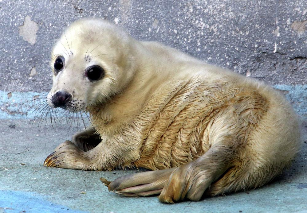 Um filhote de foca no zoológico de Kaliningrad, Rússia
