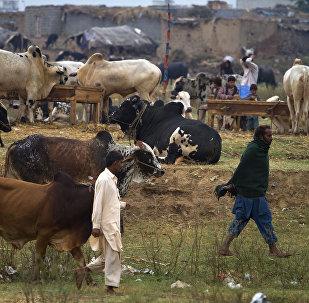 Vendedores levam vacas ao mercado no Paquistão