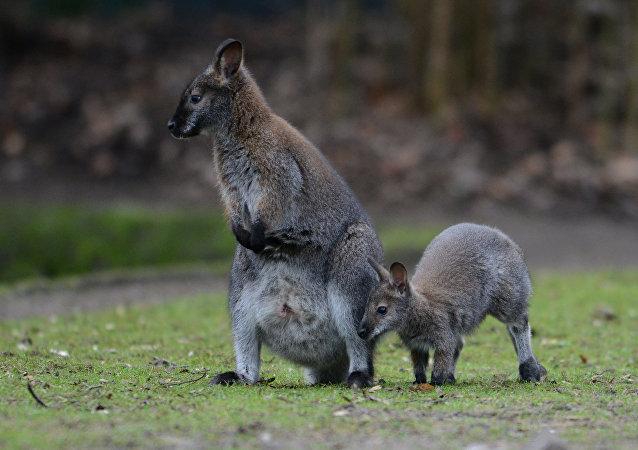 Canguru australiano