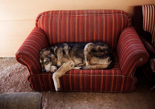 Um cão descansa em um sofá, Vafa, o primeiro abrigo de animais no Irã