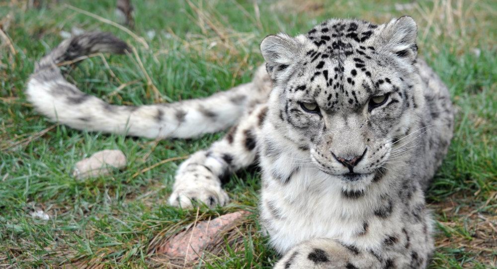 Um leopardo-das-neves