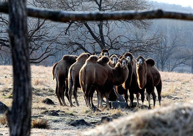 Camelos na região de Primorie, Rússia (foto de arquivo)