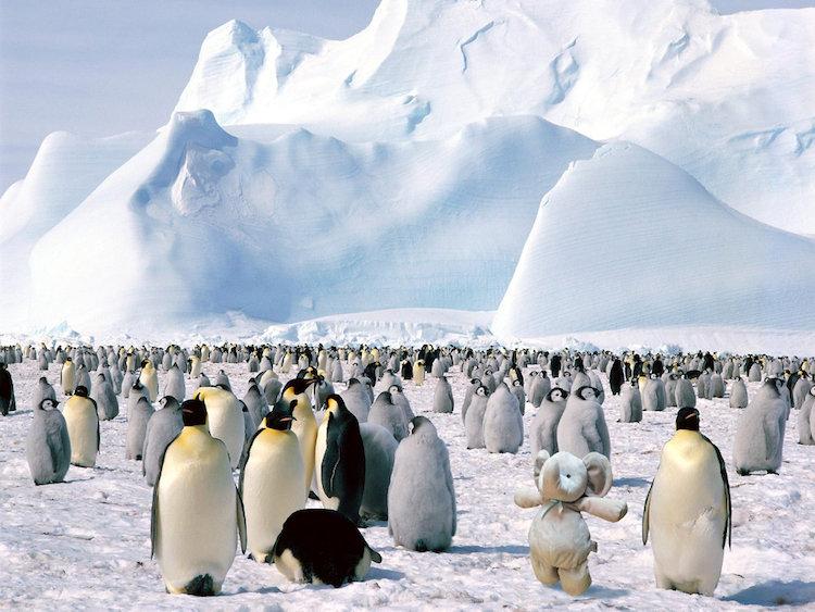 Elefante de pelúcia vai à Antártida visitar seus amigos pinguins