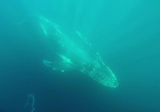 Baleias bonitas nas águas da Austrália