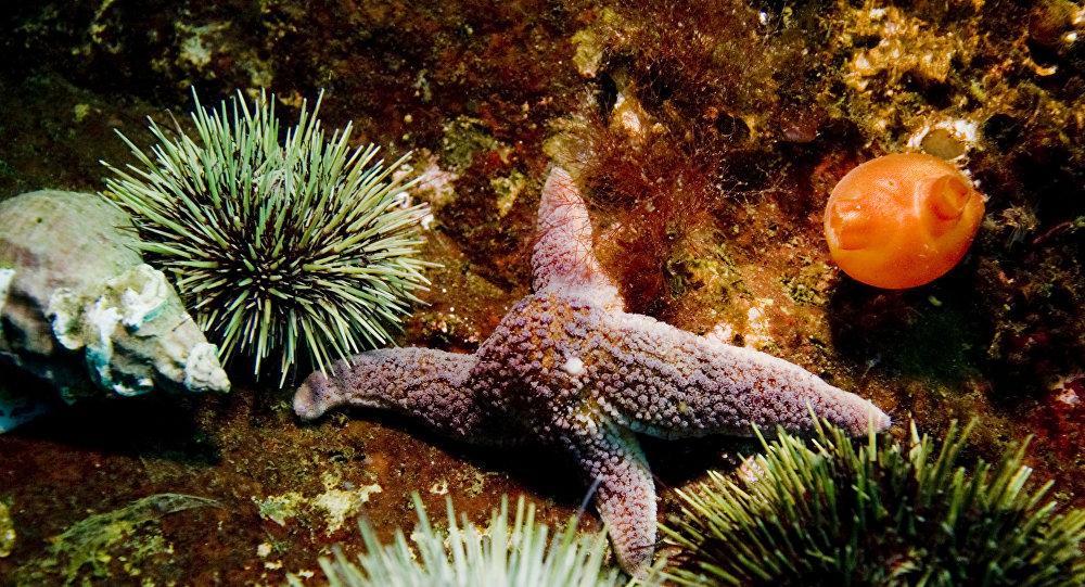 Estrela do mar e ouriçõs-do-mar no fundo do mar de mar de Barents (foto de arquivo)