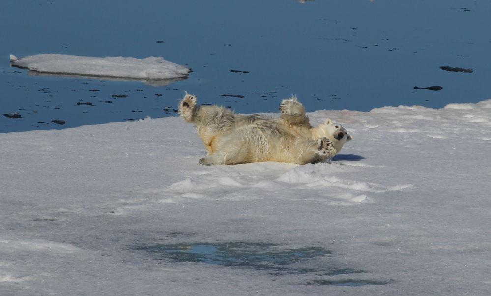 Urso polar tomando um banho de neve