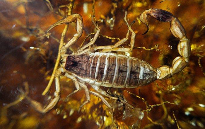 Gigantescos escorpiões marinhos eram titãs submarinos da Austrália pré-histórica (FOTO)