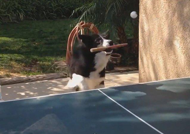 Mundo insólito: cachorro joga ténis