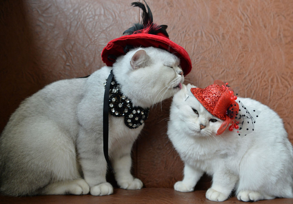 Dois gatos escoceses com chapéus vermelhos durante uma exposição felina em Bishkek