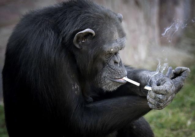 Azalea,  chimpanzé do jardim zoológico em Pyongyang ficou famosa por seu hábito pernicioso. Azalea fuma um maço de tabaco por dia e até consegue usar isqueiro