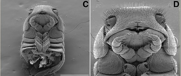 A parte dianteira do corpo de um Illacme tobini (esquerda) e um Illacme plenipes (direita) vista com uma aproximação de 300 (esquerda) e 200 (direita) µm