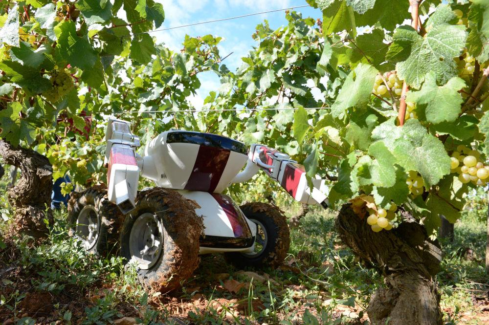 Robô Wall-Ye V.I.N. em um vinhal francês - o conceito dos investidores Christophe Millot e Guy Julien visa responder às necessidades de vinhões franceses