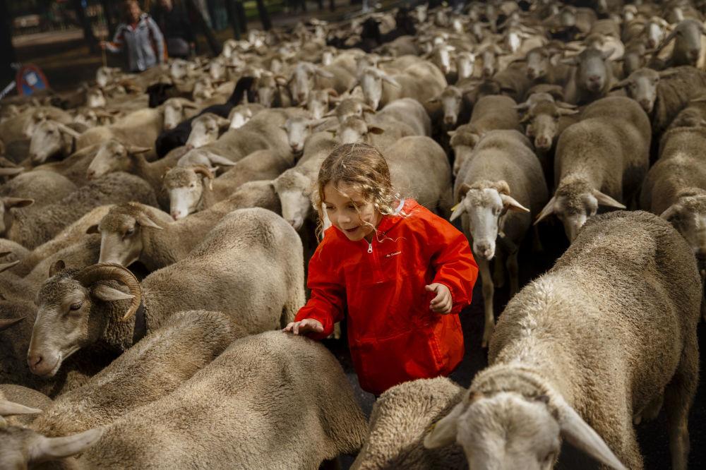 Em 23 de outubro pastores espanhóis levaram suas ovelhas através das ruas de Madrid. Eles tentaram assim chamar a atenção das autoridades para o problema da redução dos espaços tradicionais de pastoreio