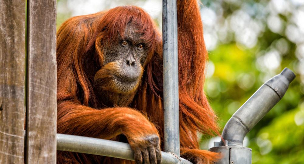 Um orangotango de Sumatra