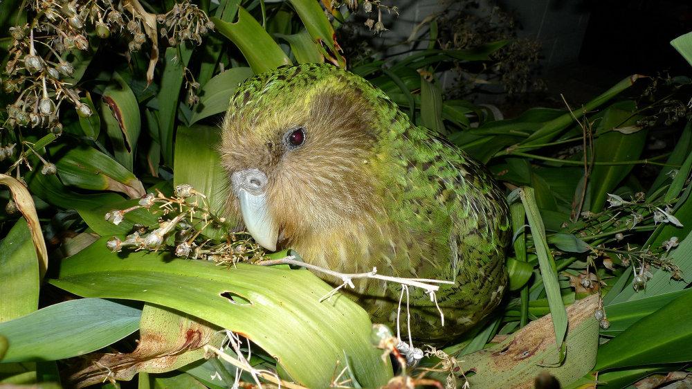 Aves que não conseguem voar: o kakapo