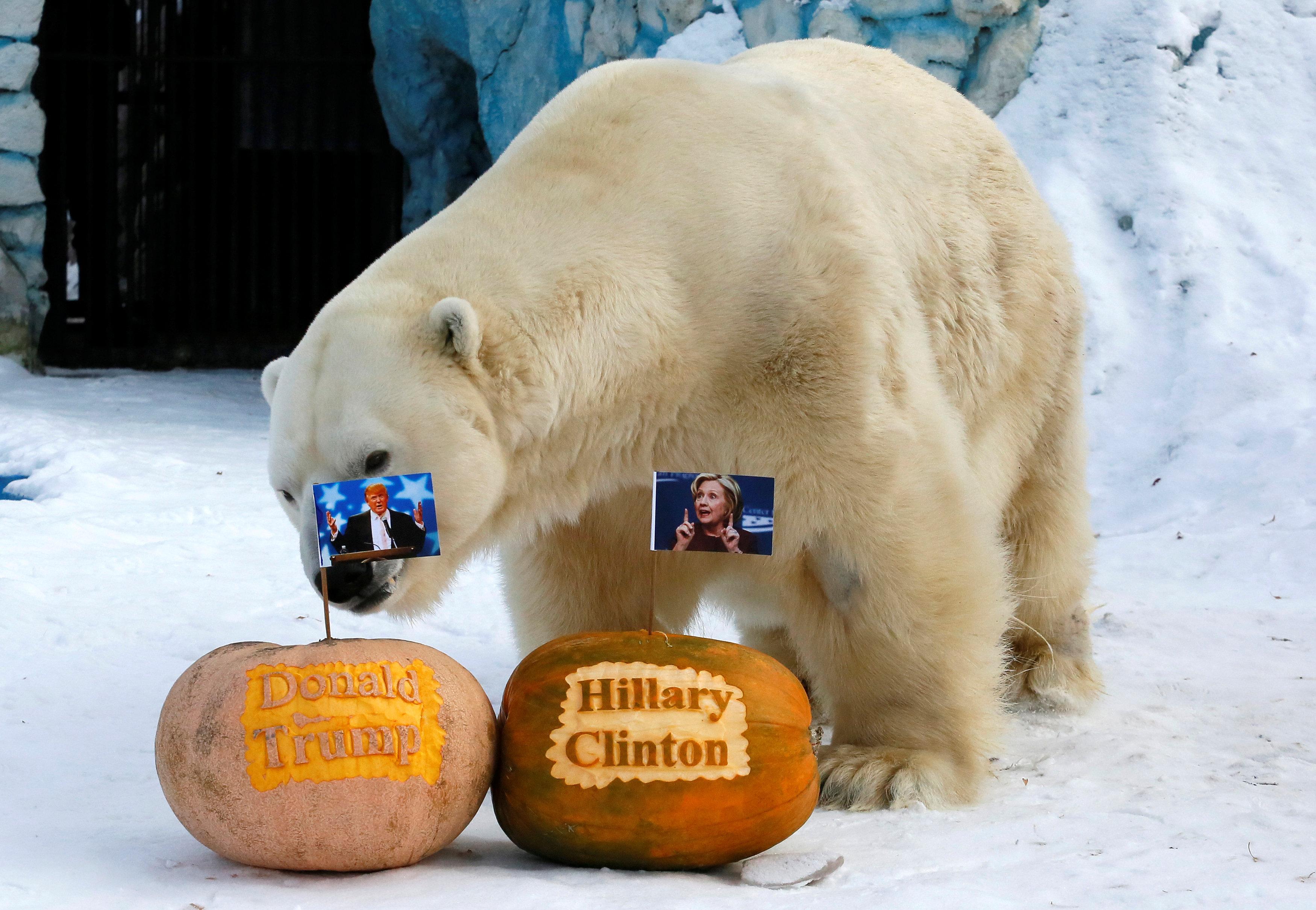 O urso polar Félix junto às abóboras com retratos dos candidatos à presidência norte-americana, Hillary Clinton e Donald Trump
