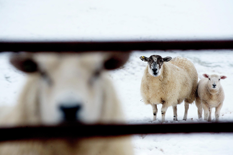Uma ovelha e seu carneiro em um campo coberto de neve de Stirlingshire, na Escócia, em 30 de março de 2010