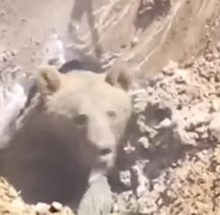 Um enorme urso pardo foi encontrado preso debaixo de concreto na floresta