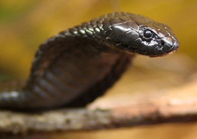 Cobra egípcia (foto de arquivo)