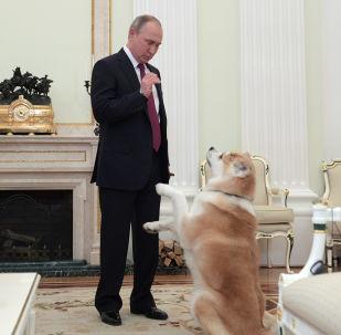 Presidente russo Vladimir Putin com a sua cachorra Yume durante uma entrevista ao canal de TV japonês Nippon (mais conhecido como NTV no Japão) e ao jornal Yomiuri  na véspera da visita ao Japão