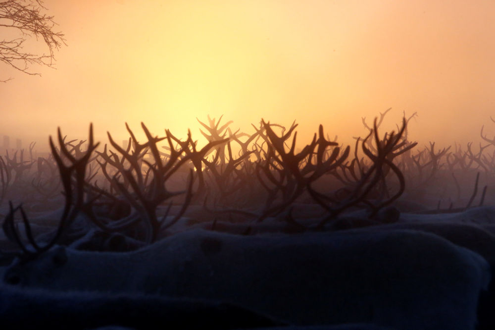 Manada de renas ao amanhecer na Rússia