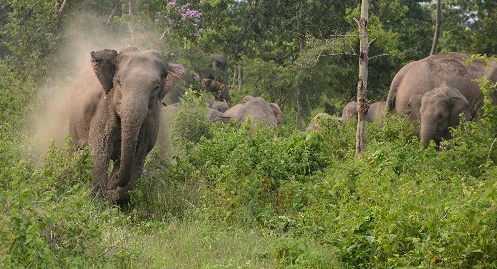 Elefantes perto de fornteira entre a Índia e o Nepal, maio de 2015 (foto de arquivo)