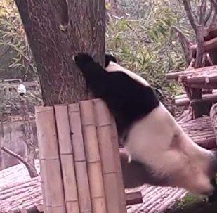 Panda conquista redes sociais com seus exercícios de flexibilidade