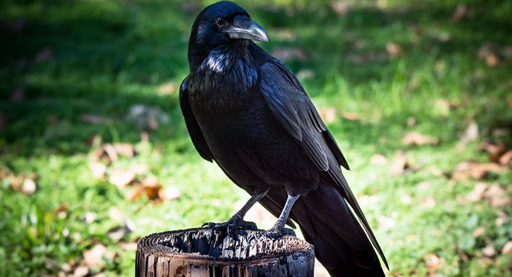 Um corvo americano