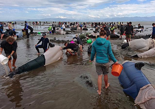 Mais de 400 baleias encalham na Nova Zelândia. Fevereiro, 10, 2017