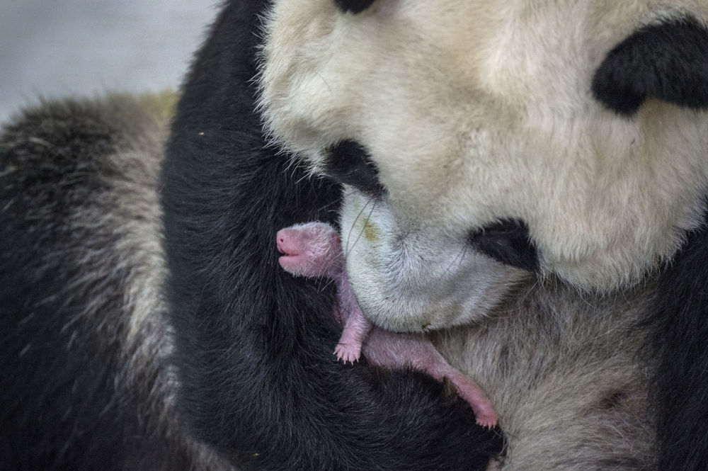 Imagem da série Pandas Viram Selvagens de Ami Vitale retrata uma panda gigante chinês de 7 anos e sua filhota pequenina