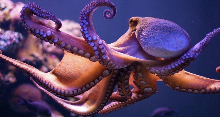 Imagem de polvo no mar (imagem referencial)
