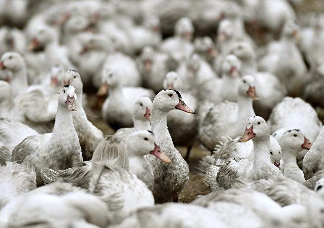 Patos em quarentena em uma fazenda da comuna francesa de Bourriot-Bergonce, em Aquitaine, na última quarta-feira, 22 de fevereiro de 2017