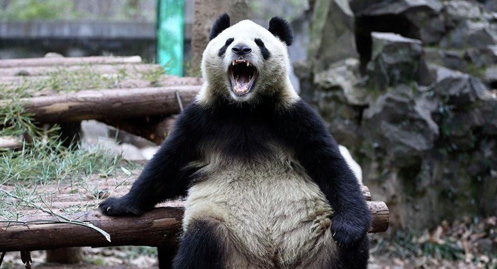 Panda gigante abre sua boca enquanto se inclina em troncos de madeira no Zoológico em Hangzhou, província de Zhejiang, 15 de janeiro de 2015