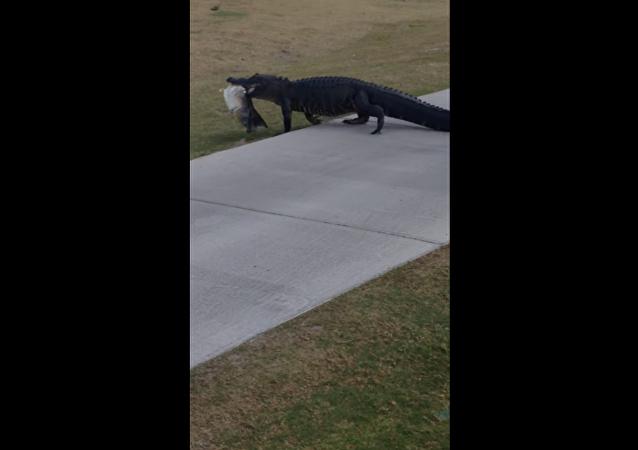 Aligátor vem almoçar a campo de golfe em Florida