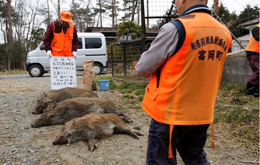 Caçadores de animais da cidade de Tomioka tomam uma foto de javalis após os caçarem na área residencial na zona exclusiva da usina nuclear de Fukushima Daiichi