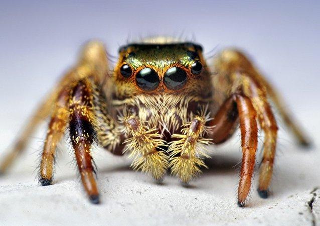 Aranha saltadora (imagem referencial)