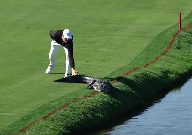 Golfista americano empurra aligátor para fora do campo durante o torneio