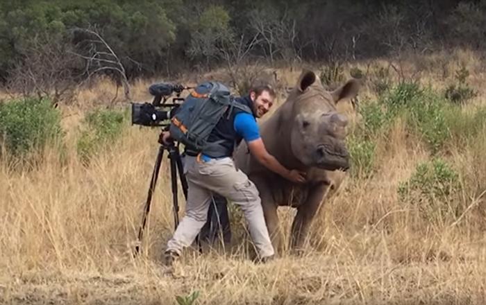 Rinoceronte selvagem pede a operador para lhe coçar a barriga